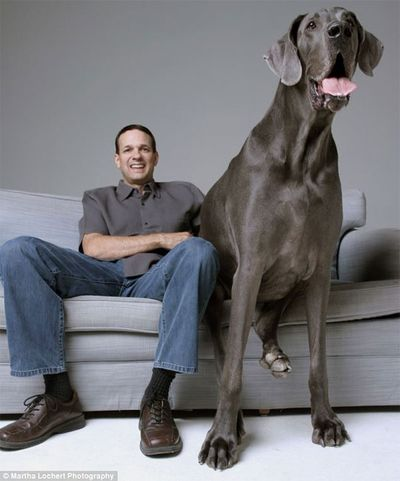 George-the-giant-great-dane-1